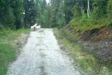 Maman mouton effraie le loup