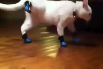 Chats avec des bottes