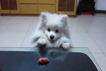 Mignon petit chien veut désespérément la saucisse