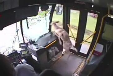 Une biche s'écrase sur un bus