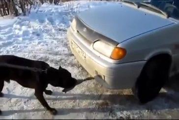 Un pitbull tire une voiture