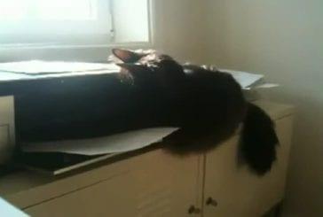 Chats se bat contre une imprimante