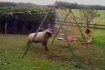 Moutons en colère