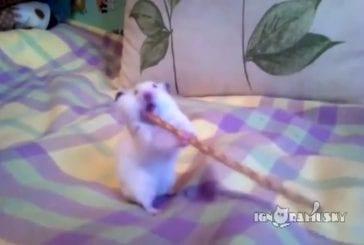 Hamster contre un bâton de bretzel