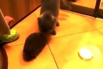 Chat utilise un hérisson pour se brosser le poil