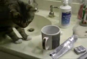 Chats accomplit un rituel avant de boire de l'eau
