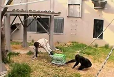 Chimpanzés résolvent des problèmes par la coopération