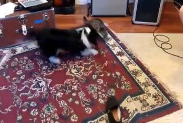 Chien excité vs chat tout doux