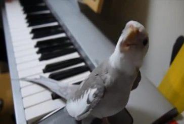 Le chant du perroquet