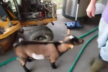 Chèvre qui se prend pour une poule