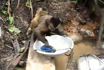 Singe qui fait la vaisselle
