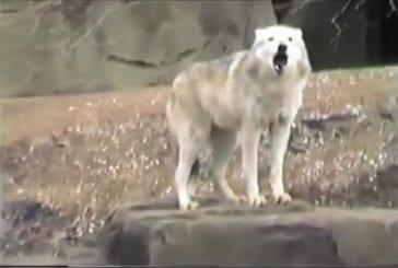 Loups chante avec les sirènes d'un raid aérien