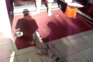 Elever des iguanes dans sa maison