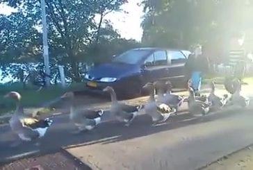 Le cortège des canards