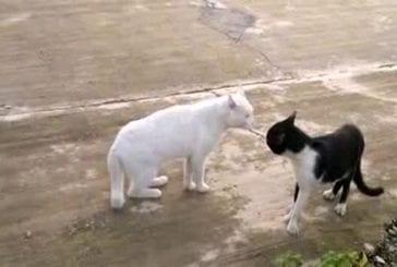 Un chat qui se prend pour un cobra