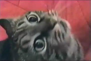 Meowgugulawelugula ronronnement