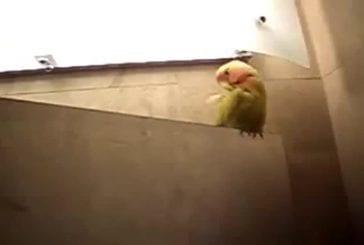 Oiseau se cache dans la poitrine de sa maitresse