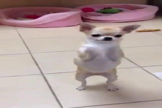 Danse de Chihuahua