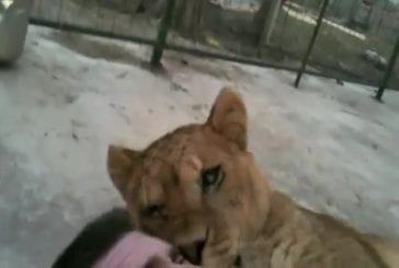 Lion s'endort en écrasant son dompteur