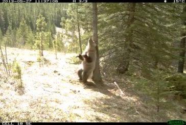 Que font les ours quand personne ne regarde
