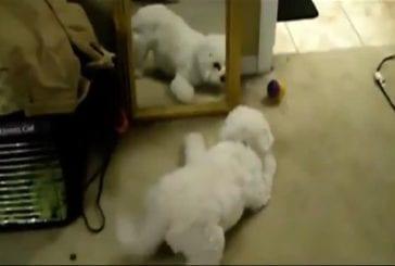 Chiots et chatons vs miroirs