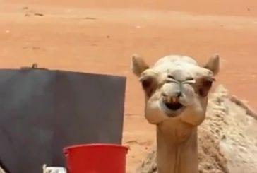 Machouillement d'un chameau