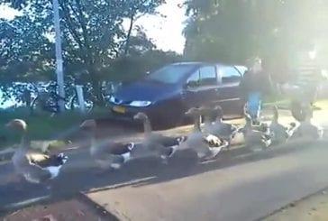 La parade de canards