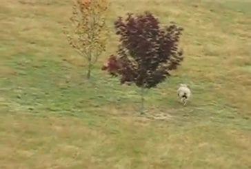 Mouton fait fuir un renard