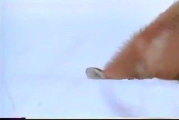 Renard attrape une souris 60cm sous la neige