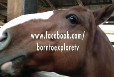 Un cheval s'amuse avec un caméraman lors d'une interview télévisée