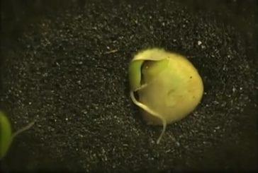 Timelapse d'une graine qui germe