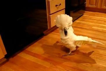 Cacatoès devient fou sur le plancher de la cuisine