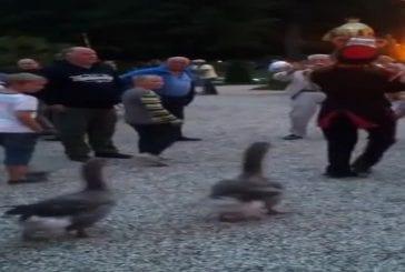 Défilé de canard aux Pays-Bas