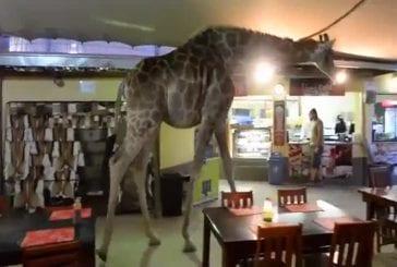 Girafe traverse un restaurant