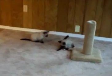 Mignons chatons font du catch