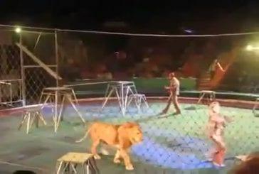 Lions de pandémonium attaquent leurs formateurs