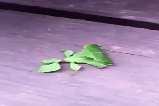 Bizarre insecte feuille