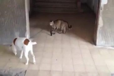 Chat promène son chien en laisse