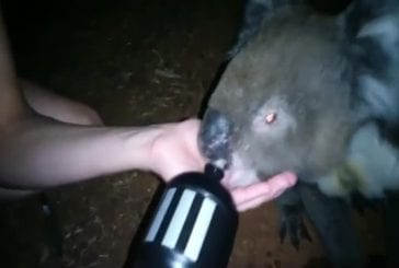 Koala a très soif