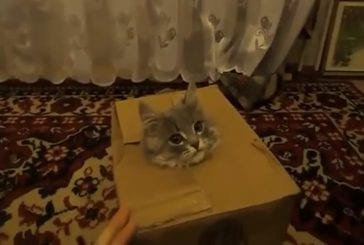 Le chat Jack-In-The-Box