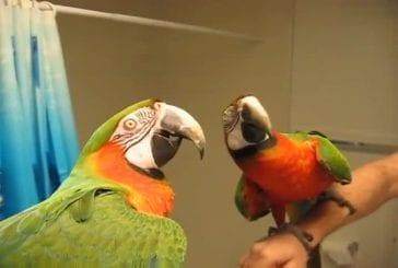Ara fait taire les autres oiseaux