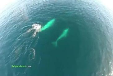 Drone au dessus des dauphins et des baleines