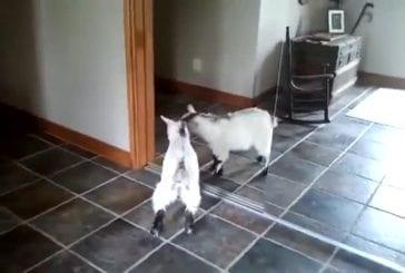 Bébé chèvre vs reflet de miroir