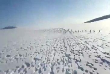 Troupeau de lapins migrent à travers la Sibérie