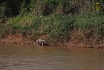 Jaguar chasse un crocodile