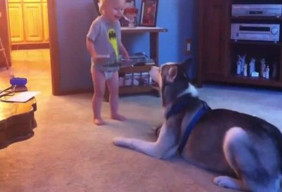Bébé et chien husky ont une conversation profonde