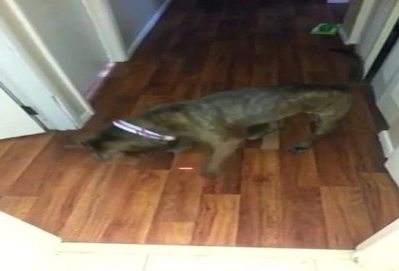 Adorable pitbull attaque le pointeur d'un laser