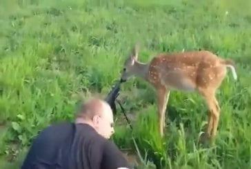 Cerfs intrépide lèche le canon d'un fusil
