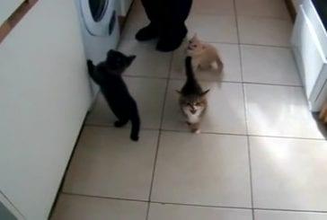 Chatons bruyants attendent le dîner