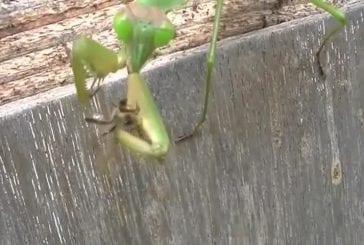 Enorme mante-religieuse mange 2 abeilles en même temps